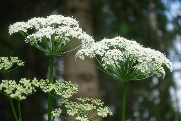 Sweden Flowers, Aegopodium podagraria, Kirskål, Giersch, Zevenblad, Ground elder
