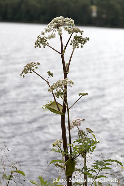 Flora of Sweden online, Native plants, Sverige