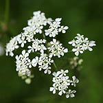 Anthriscus sylvestris - Flowers, Sweden, Flora
