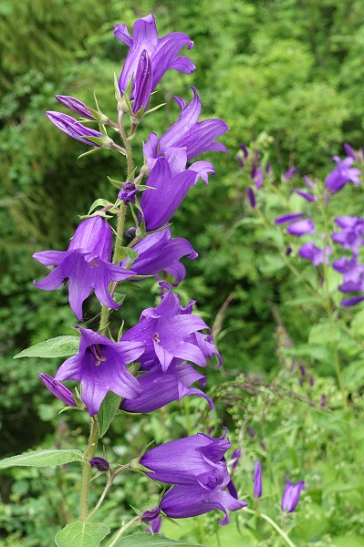 Sweden Flowers, Campanula latifolia, Hässleklocka, Breitblättrige Glockenblume, Breed klokje, Giant bellflower, Large campanula, Wide-leaved bellflower