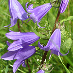 Campanula rapunculoides - Flowers of Sweden