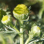 Cirsium helenioides - Flowers of Sweden