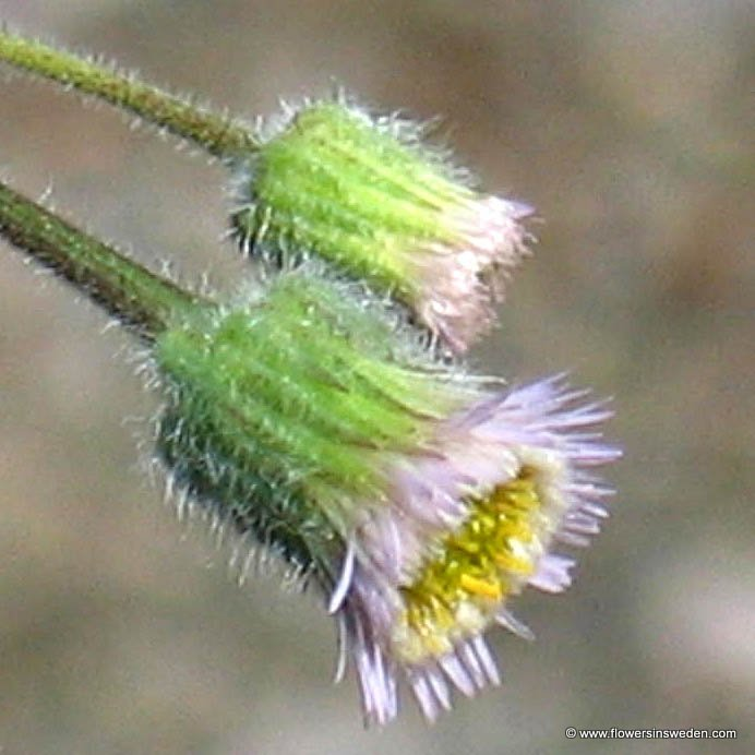 Erigeron acer - Flowers of Sweden