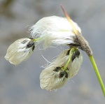 Eriophorum angustifolium - Flowers of Sweden