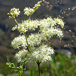 Filipendula ulmaria - Flowers of Sweden