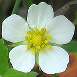 Fragaria vesca - Flowers of Sweden