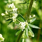 Galium album - Sweden Wildflowers