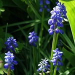 Muscari botryoides - Flowers in Sweden