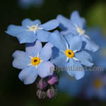 Myosotis sylvatica - Flowers in Sweden