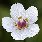 Parnassia palustris - Flowers in Sweden