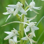 Platanthera bifolia - Flowers in Sweden
