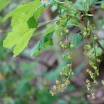 Ribes spicatum - Wildflowers, Sweden
