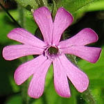 Silene dioica - Wildflowers, Sweden
