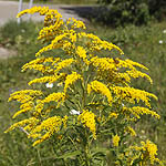 Solidago canadensis - Wildflowers, Sweden