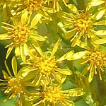 Solidago virgaurea - Wildflowers, Sweden