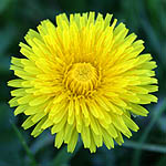 Taraxacum - Wildflowers, Sweden