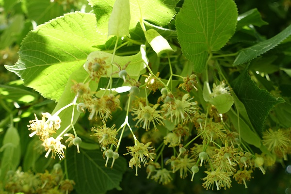 Flowers in Sweden, Wildflowers, Tilia cordata, Lind, Winter-Linde, Winterlinde, Small-leaved Lime