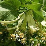 Tilia cordata, SE: Lind, DE: Winter-Linde ,<br> NL: Winterlinde, UK: Small-leaved Lime - Wildflowers, Sweden