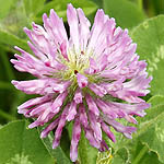 Trifolium medium - Wildflowers, Sweden