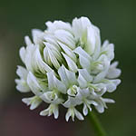 Trifolium repens - Wildflowers, Sweden