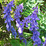 Vicia cracca - Flowers, Sweden, Flora