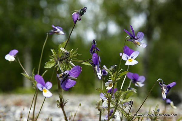 Wild Flowers of Sweden